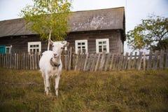 Белая коза на предпосылке дома в деревне есть траву Стоковое фото RF