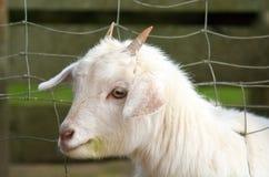 Белая коза ребенк Стоковое Изображение RF