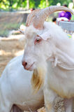 Белая коза с большими рожками Стоковое фото RF