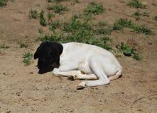Белая коза с черной головой стоковые изображения