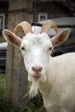 Белая коза Стоковое Изображение