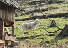 Белая коза Стоковая Фотография RF