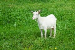 Белая козочка Стоковое Фото