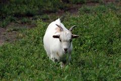 Белая козочка Стоковые Изображения RF