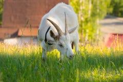 Белая козочка Стоковая Фотография RF