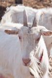 Белая козочка Стоковые Фото