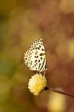 Белая коричневая смертная казнь через повешение бабочки на цветке с предпосылкой bokeh Стоковые Фотографии RF