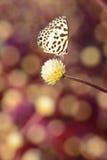 Белая коричневая смертная казнь через повешение бабочки на цветке с предпосылкой bokeh Стоковое Изображение