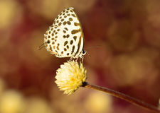 Белая коричневая смертная казнь через повешение бабочки на цветке с предпосылкой bokeh Стоковое Изображение RF