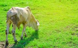 Белая корова в поле зеленой травы Стоковое Изображение RF