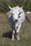 Белая корова в Apennines Стоковое фото RF