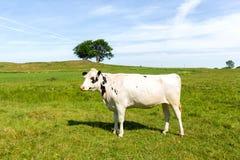 Белая корова молока стоя на зеленом луге Стоковая Фотография RF