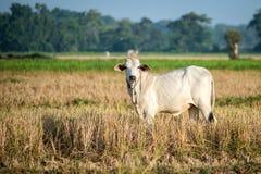 Белая корова пася в открытом выгоне Стоковое Изображение
