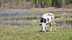 Белая корова с слепыми пятнами молодая трава на b видеоматериал