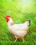 Белая курица на зеленой траве Стоковые Фотографии RF