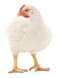 Белая курица стоковые изображения