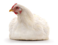 Белая курица стоковые фото
