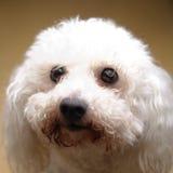 Белая курчавая собака Стоковые Изображения