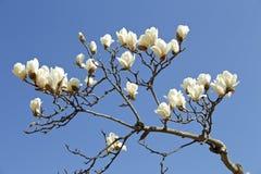 Белая магнолия которая зацветает весной Стоковое Фото