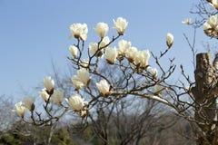 Белая магнолия которая зацветает весной Стоковые Изображения