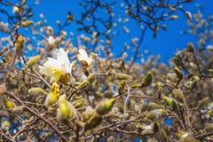 Белая магнолия цветет весной Стоковая Фотография RF