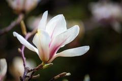 Белая магнолия цветет полностью цветене Красивая сметанообразная магнолия Стоковое фото RF
