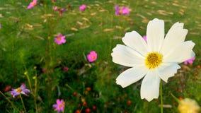 Белая маргаритка в саде Стоковая Фотография