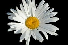Белая маргаритка изолированная на черной предпосылке Стоковое Изображение