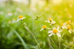Белая маргаритка или vulgare Leucanthemum или маргаритка и вода oxeye dro Стоковое Изображение