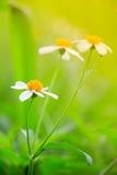 Белая маргаритка или vulgare Leucanthemum или маргаритка и вода oxeye dro Стоковая Фотография RF