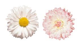 Белая маргаритка и розовая изолированная маргаритка Стоковая Фотография RF