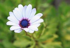Белая маргаритка Стоковые Фото