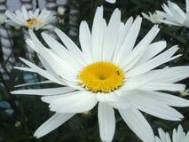 Белая маргаритка Стоковые Изображения