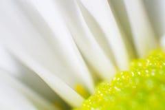 Белая маргаритка Стоковое Изображение RF