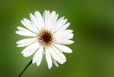 Белая маргаритка Стоковая Фотография RF
