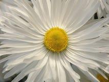 Белая маргаритка Стоковые Изображения RF