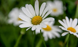 Белая маргаритка Стоковая Фотография
