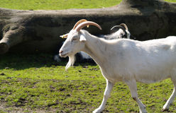 Белая малая коза Стоковая Фотография
