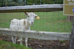 Белая молодая коза Стоковые Изображения