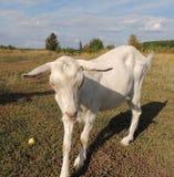 Белая молодая она-коза стоковые фотографии rf