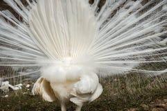 Белая мужская задняя часть павлина Стоковая Фотография