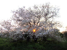 Белая невеста дерева- Яблока и может заход солнца Стоковое Изображение