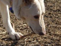 Белая немецкая овчарка играя с ручкой Стоковые Изображения RF