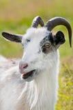 Белая няня-коза Стоковые Фото