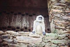 Белая обезьяна стоковая фотография