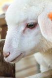 Белая овечка Стоковые Фото