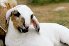 Белая овечка Стоковые Изображения