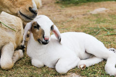 Белая овечка Стоковая Фотография RF