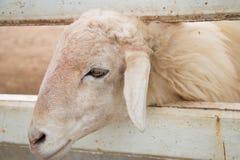 Белая овца крадясь его возглавляет вне от зазора загородки Стоковые Фотографии RF