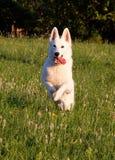 Белая овчарка Стоковые Фото